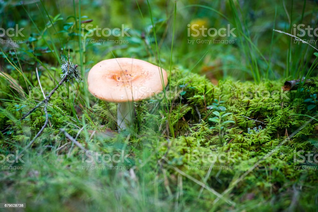 mushrooms on green background royalty-free stock photo