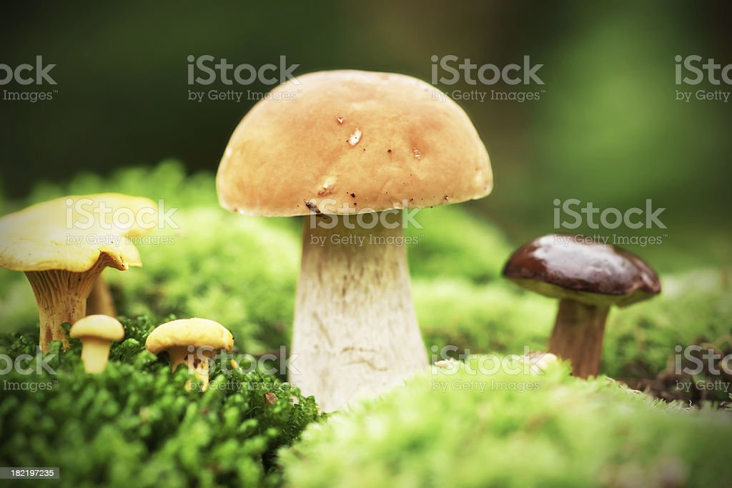 Mushrooms on moss royalty-free stock photo