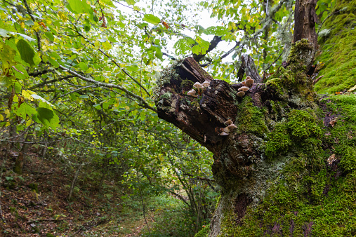 Mushrooms on Oak Trunk - Setas en Tronco de Roble
