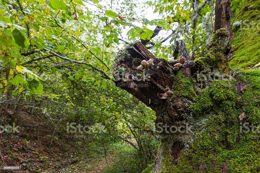 Mushrooms on Oak Trunk - Setas en Tronco de Roble stock photo