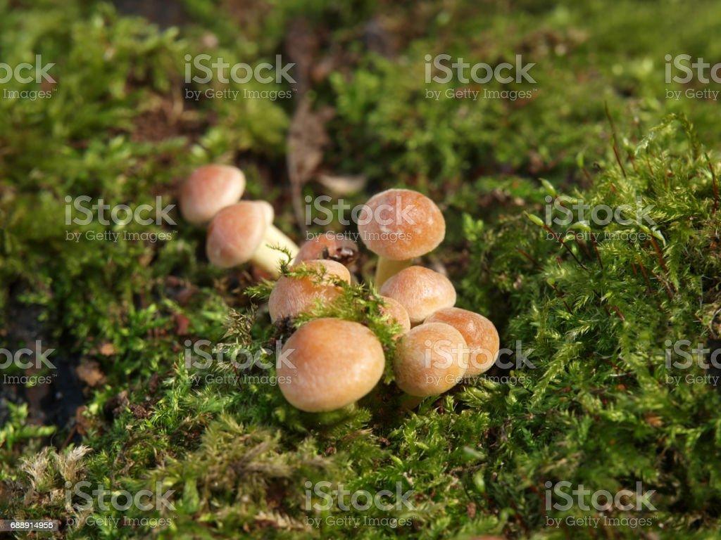 mushrooms on old stump closeup stock photo