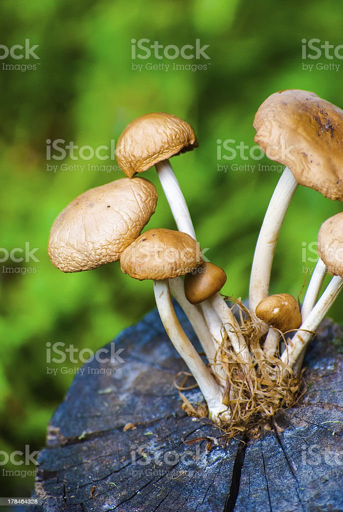 mushrooms on stump in the forest royalty-free stock photo