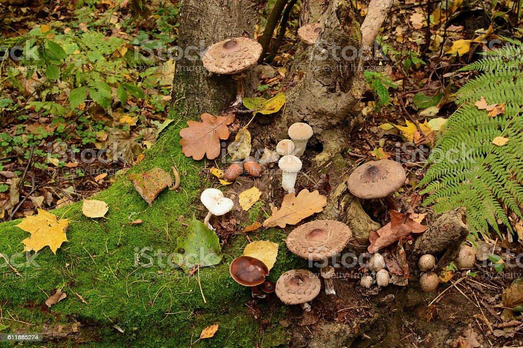 mushrooms on stump stock photo