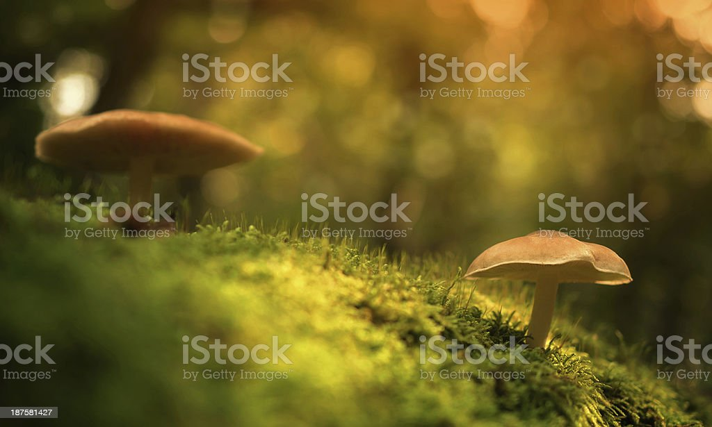 Mushrooms on the mossy ground royalty-free stock photo