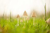 Soft focus picture of Three mushrooms on the grass in the morning.