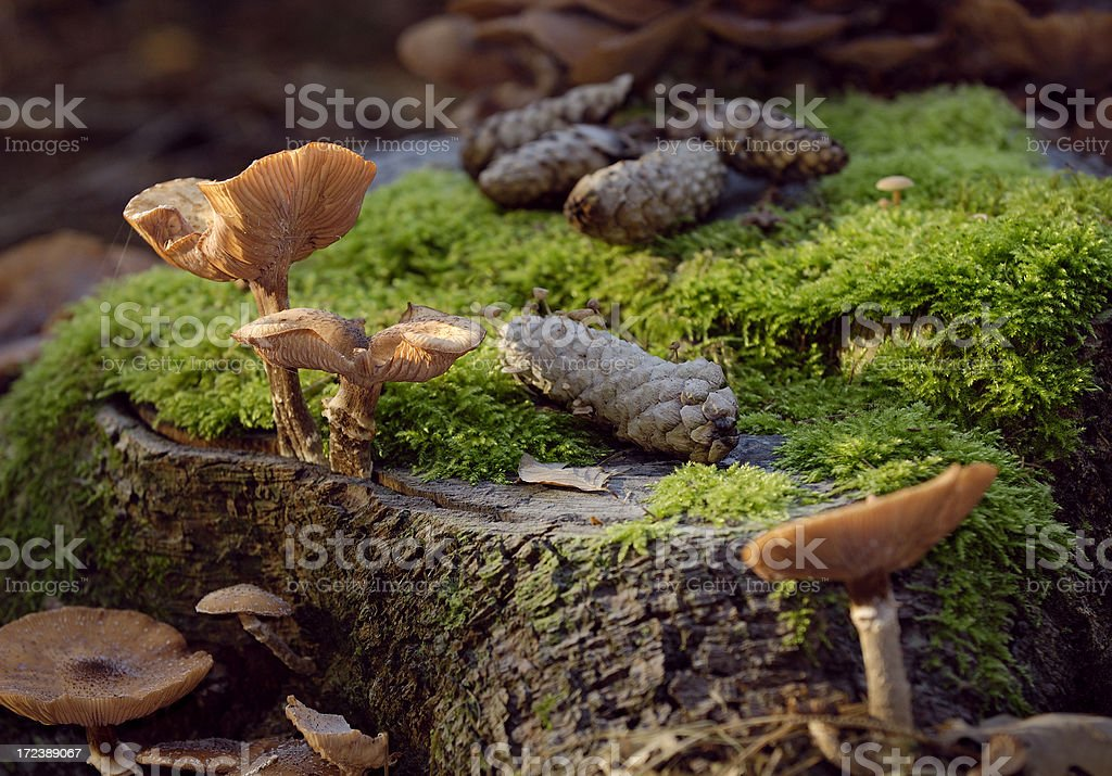 Mushrooms, pine cones and moss on forest floor. royalty-free stock photo