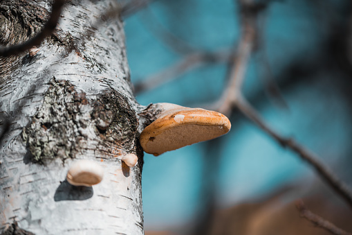 Mushrooms: Piptoporus Betulinus -  Fomitopsidaceae