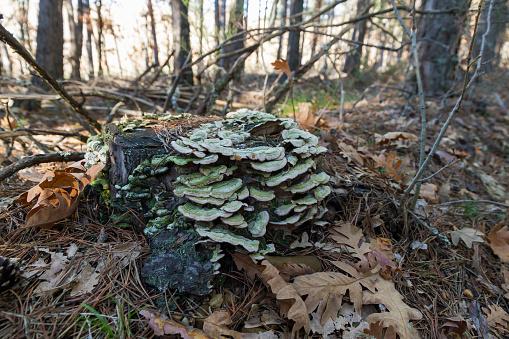 Mushrooms Trametes versicolor on Tree Trunk and in pine forest - Setas en Tronco de Arbol y en bosque de pinos