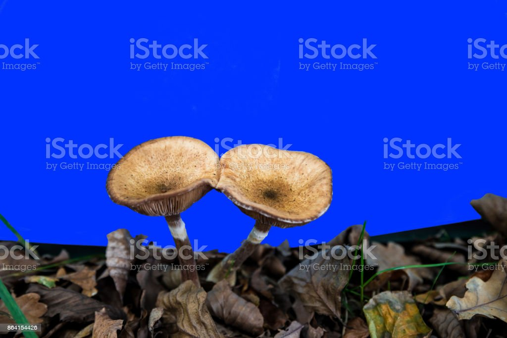 mushrooms with gills against a blue screen royalty-free stock photo