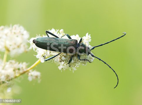 The musk beetle (Aromia moschata) is a Eurasian species of longhorn beetle belonging to the subfamily Cerambycinae, tribe Callichromatini. Its name comes from the delicate musky smell it emits when menaced. Description: This beetle is characterised by very long antennae (like all other Cerambycids and a somewhat coppery or greenish metallic tint. The typical form, characterised by a pronotum with a metallic color, is widespread in Europe, except for most of Spain and Southern Italy. In such regions, in North Africa, and in Asia to Japan, the species is represented by some subspecies characterised by a more or less red pronotum. The antennae are longer than the entire head and body length in male and as long as body in females. Nevertheless, the Oriental subspecies have usually shorter antennae.  Biology: The adults are usually found on leaves, especially those of the willow trees, where the larva of this species lives. The secretion with the characteristic musky smell is produced in thoracic glands, and is expelled through openings located on the distal part of the metasternum, near the hind legs articulation. The secretion was formerly supposed to contain salicylaldehyde or a salicylic ether, but there is now evidence that it consists instead mainly of four different monoterpenes, among which rose oxide, one of the most important fragrances in perfumery (source Wikipedia).   This Picture is made in a Marsh Region in the Netherlands, where Willows are growing.