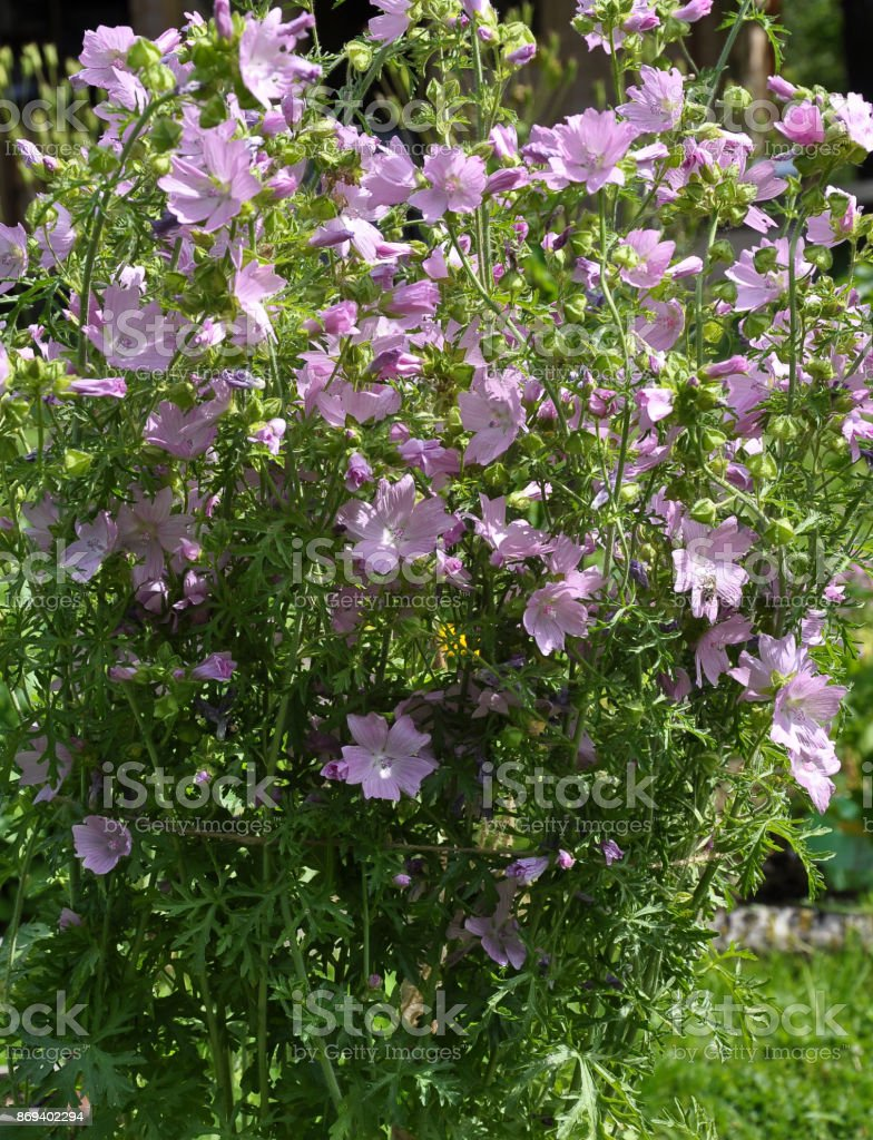 Musk mallow in garden bed stock photo