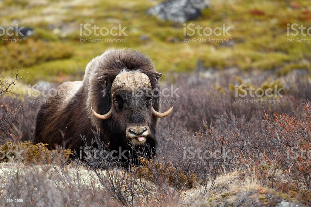 Musk ox in Dovrjefell, Norway stock photo