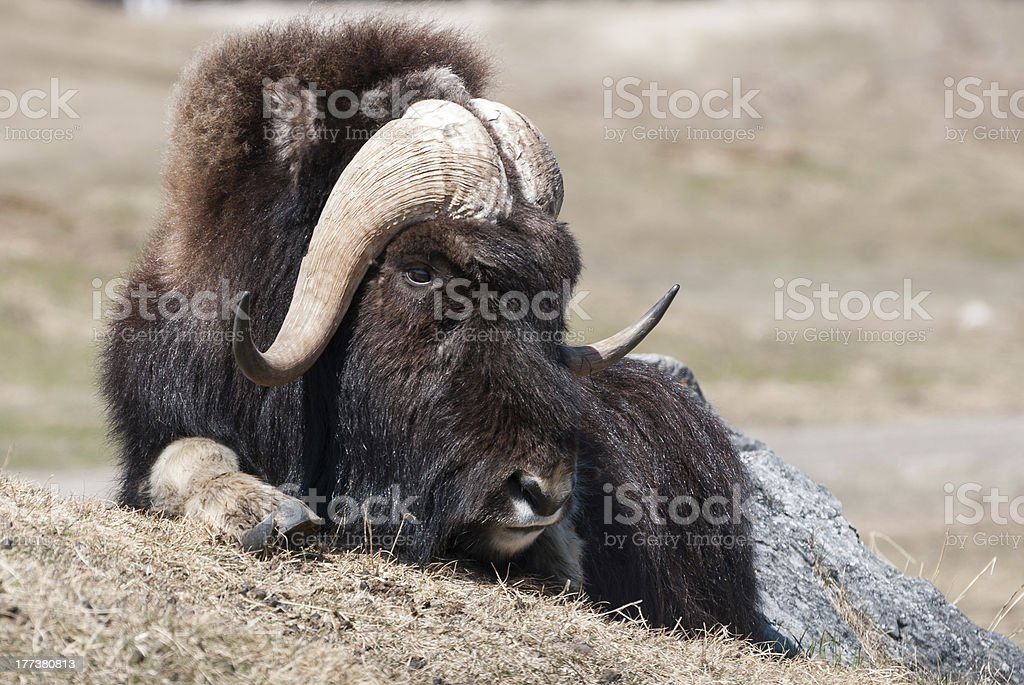Musk Ox royalty-free stock photo