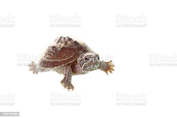 Musk turtle picture id499760993?b=1&k=6&m=499760993&s=612x612&h=4536yxee5nr m7ecc8anpr6xumhrmjhc40icmqtgi2q=