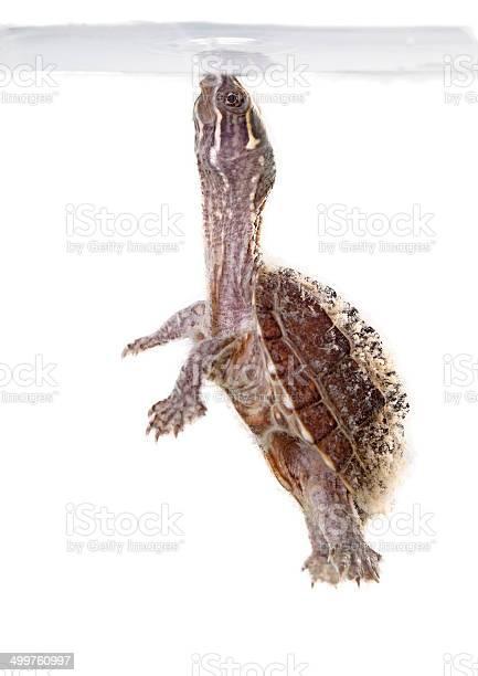 Musk turtle picture id499760997?b=1&k=6&m=499760997&s=612x612&h=dmr3ggiiebllwtv6ukf5gi3ymfzxq1xk2ct8qkfkv2q=
