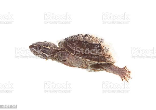 Musk turtle picture id499761003?b=1&k=6&m=499761003&s=612x612&h=rhlfbklndepfz3kbrgs6 1pcgzoccruttybdohwplsc=