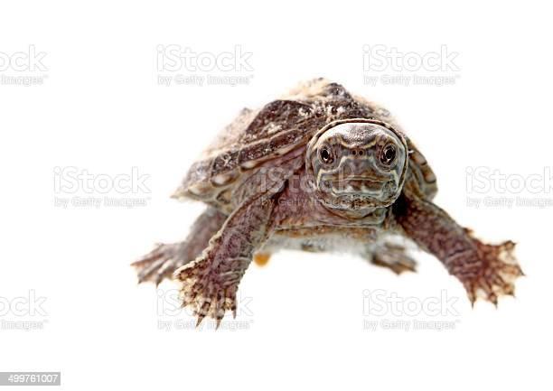 Musk turtle picture id499761007?b=1&k=6&m=499761007&s=612x612&h=hk93 k b87yujgy zsf po86ve 5ujpqso0i2miq1dq=