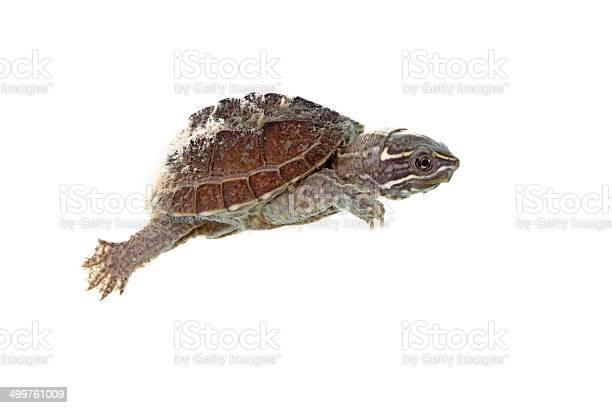Musk turtle picture id499761009?b=1&k=6&m=499761009&s=612x612&h=azltykhvo2zdssloq 1jygn almccmoupdpslmljlmg=