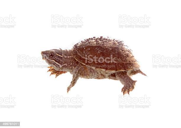 Musk turtle picture id499761011?b=1&k=6&m=499761011&s=612x612&h=0ui1  ysirqqts1rlfljnaugvhoql4smhe mlidkfv0=