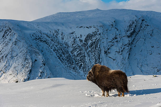 Muskox and Mountain Norway​​​ foto