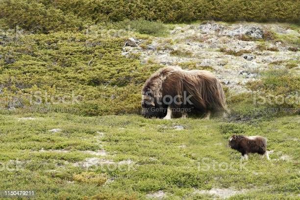 Photo of Muskox (Ovibos moschatus). Musk ox  peacefully standing on grass with calf in Greenland. Mighty wild beast. Overcast, big animal with horns in the nature habitat, wildlife scene