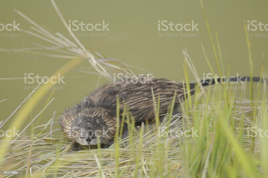 Muskrat in pond royalty-free stock photo