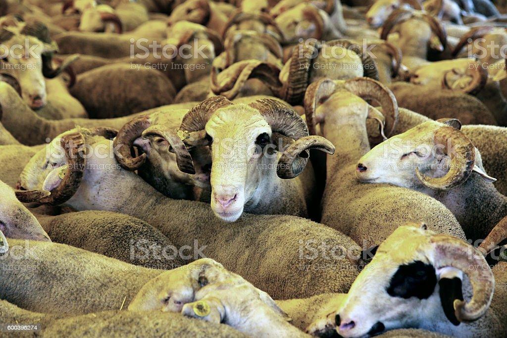 muslim festival of sacrifices stock photo