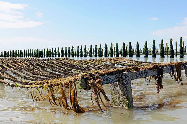 Cozza farm in mare di Normandia Francia - foto stock