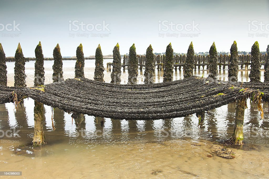 Mussel Farming at low tide royalty-free stock photo