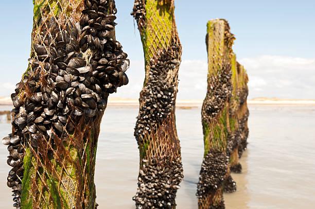 Cozza plantation in Normandia Francia - foto stock