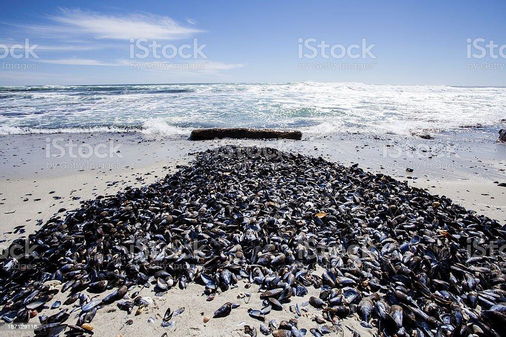 Mussel shells on a beach stock photo