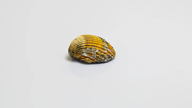 Muschel-Jacken – Foto