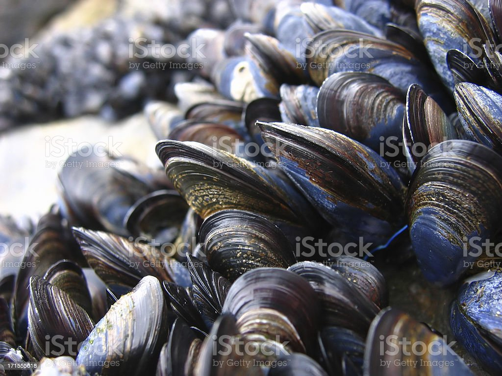 mussels 1 stock photo