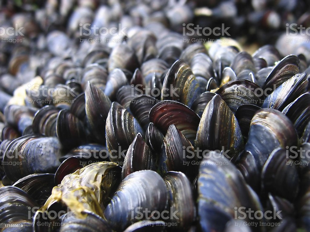 mussels 2 stock photo