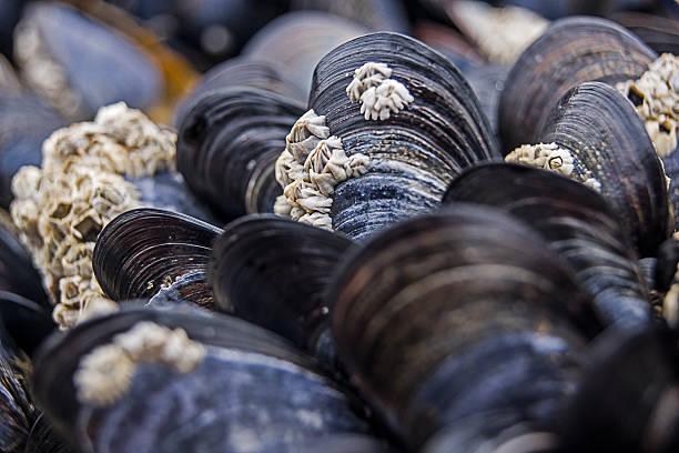 mussels at the beach - moules photos et images de collection