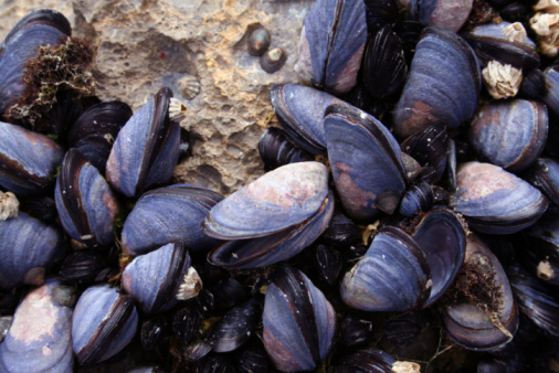 istock Mussels Closeup 93254025