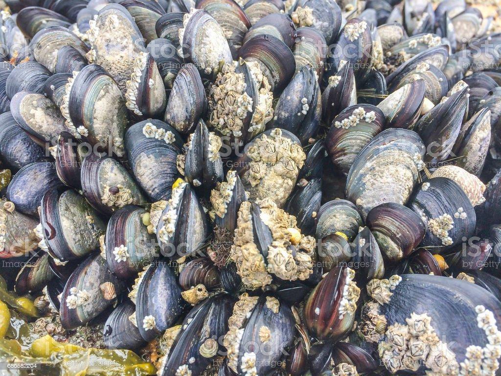 Colonie de moules sur des roches intertidales photo libre de droits