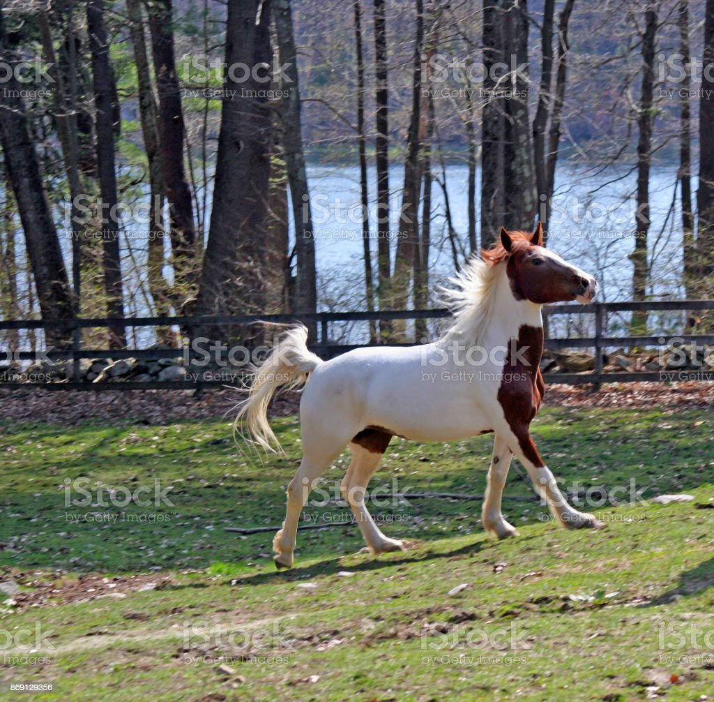 Mustang Rocio Cantering In Her Pasture stock photo