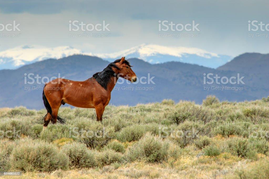 Mustang Stallion stock photo