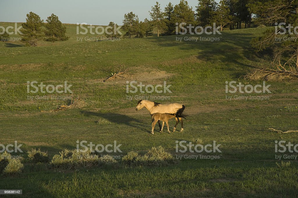 Mustangs In The Black Hills Wild Horse Sanctuary Stock Photo Download Image Now Istock