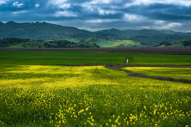 Mustard bloom in Sonoma Field of mustard flowers in Sonoma county, California sonoma county stock pictures, royalty-free photos & images