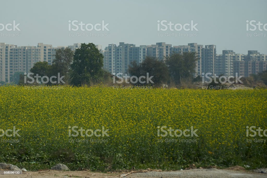 Mustard Field and High Rise royalty-free stock photo