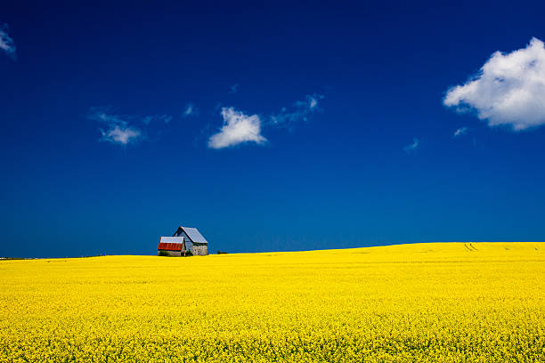 mustard field in late bloom - prince edward island stock photos and pictures