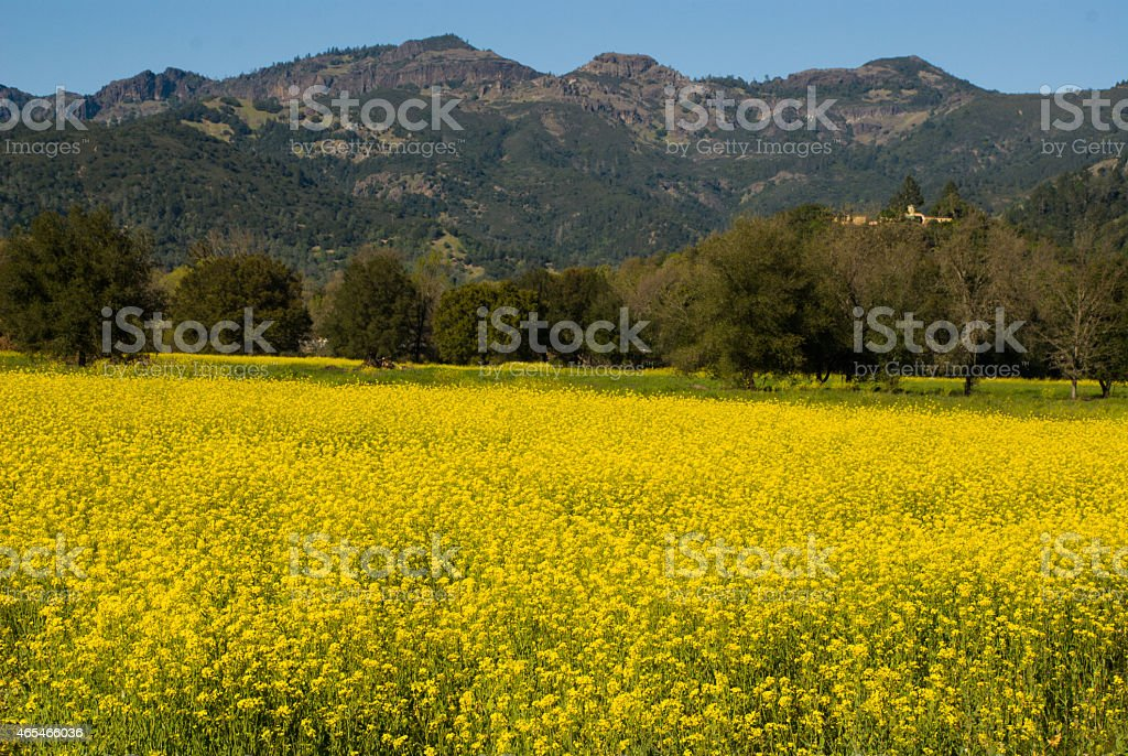 Mustard Field in springtime near Calistoga Napa Valley California stock photo