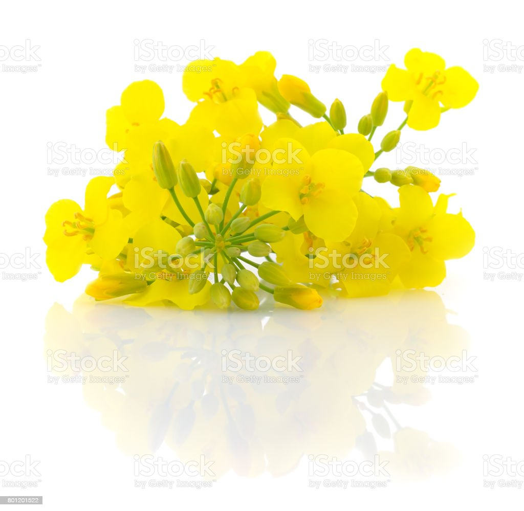 Mustard Flower blossom. stock photo