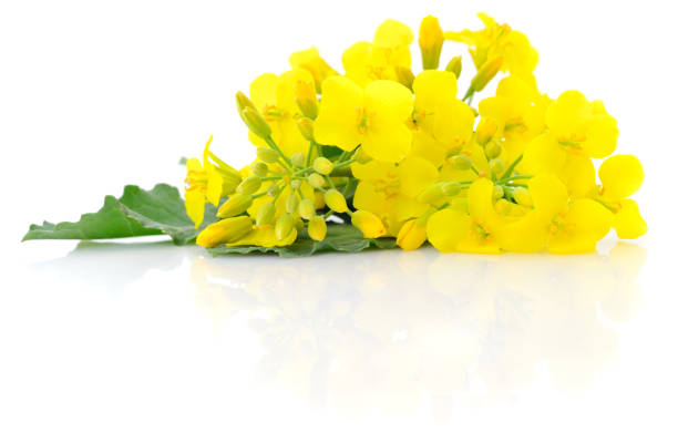 Mustard Flower blossom. Mustard Flower blossom, Canola or Oilseed Rapeseed, close up , isolated on white background. canola stock pictures, royalty-free photos & images