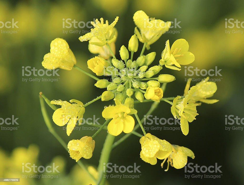 горчичный цветок