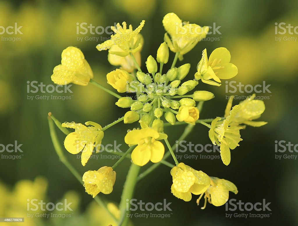 Mustard flower stock photo