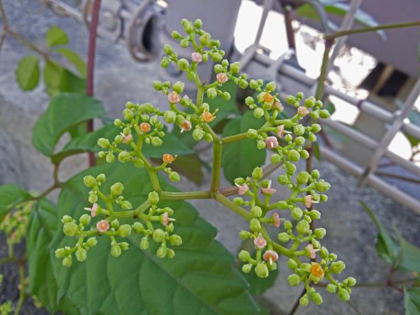 マスタードの花、芽。 ストックフォト