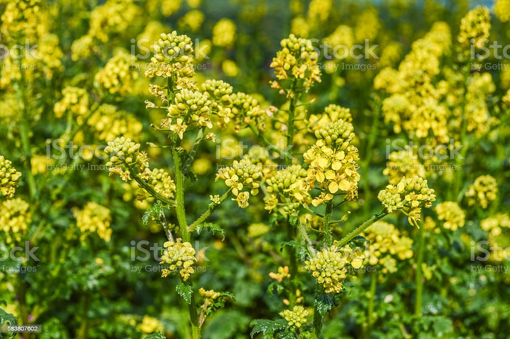 Mustard Flowers field - Sinapis Alba stock photo